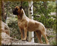 Current Representation of the Bullmastiff in the late 1900s.