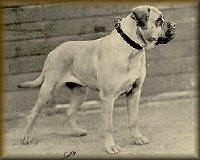 AKC Representation of the Bullmastiff in the early 1900s.