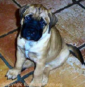 Beloved Toad Bullmastiffs Puppy